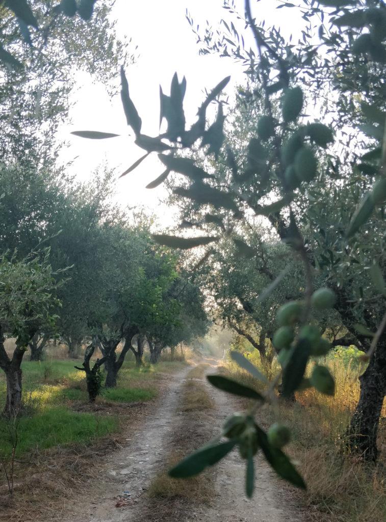 Zakinthosin saarella on tuhansia oliivipuita. Aikaisin aamulla oliivipuulehdossa on ihana kävellä.