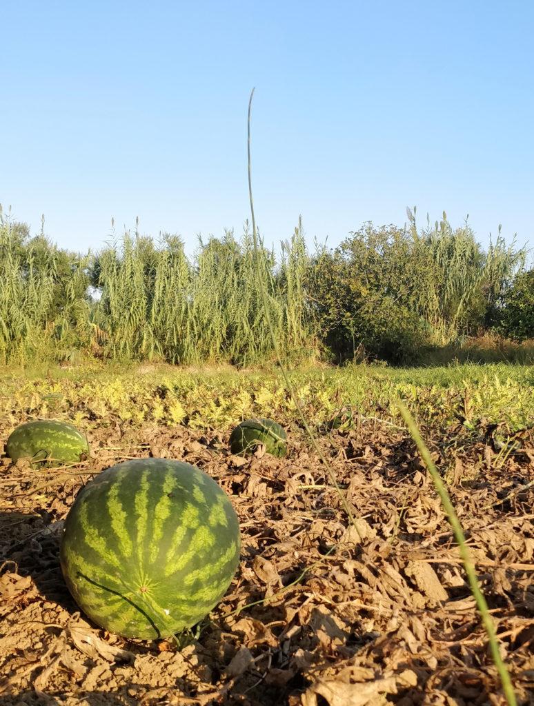 Zakinthosin saarella on viljelyksiä, joissa kasvatetaan vesimeloneja.